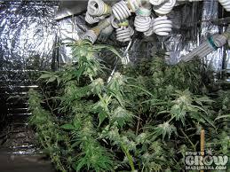 cfl grow light fixture compact fluorescent cfl grow lights grow lights