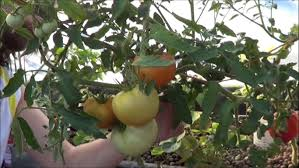 stressing tomato plants to force fruiting youtube