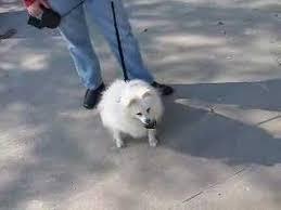 american eskimo dog washington state shayna u0027s transport 16 year old american eskimo dog youtube