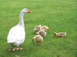 ducks and geese animals used for clothing animal facts peta kids