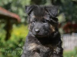 belgian shepherd for sale in india german shepherd dog puppies for sale euro puppy