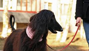afghan hound walking afghan hound on a walk wallpapers and images wallpapers