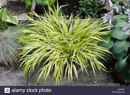 yellow ornamental grass hakoonechioa macr alba ureapatio patio