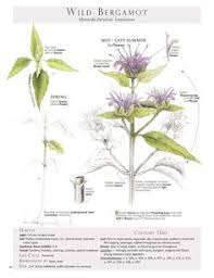 wild bergamot plant identification page from the book foraging