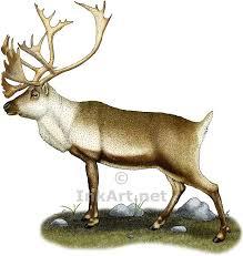caribou reindeer stock art illustration