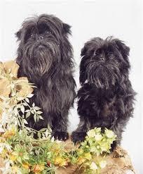 affenpinscher qualities specifically type of dogs affen spaniel affenpinscher cocker