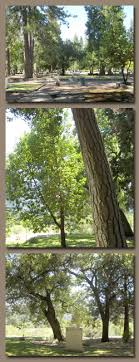 cremation tree trees approved for memorial planting burial cremation grave