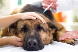 australian shepherd odor ask a vet why does my dog stink u2013 iheartdogs com