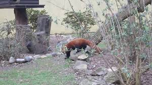 a view with some room marwell zoo red pandas