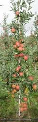 Blackmoor Fruit Trees - dwarf quince plants pinterest dwarf fruit trees and plants