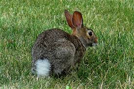 all about the eastern cottontail rabbit welcome wildlife