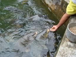 cara membuat umpan mancing ikan mas harian resep rahasia umpan ikan mas kilo gebrus paling ampuh