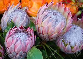 Protea Flower South Africa - protea flower images u0026 stock pictures royalty free protea flower