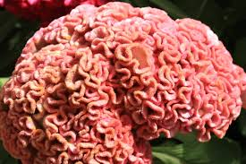 coxcomb flower daily photo pink coxcomb stories movement