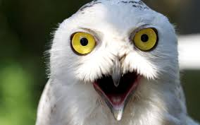 White Owl Meme - white owl wallpapers gallery 70 plus pic wpw405441 juegosrev com