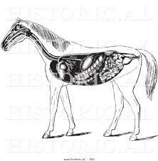 historical vector illustration of horse anatomy featuring the