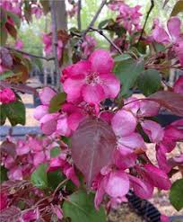 malus royalty crab apple tree mail order trees outdoor