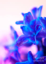 blue and purple flowers blue and purple flowers photograph by angela