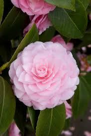 29 best crazy for camellias images on pinterest monrovia plants