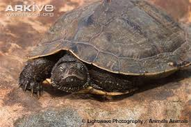 map turtle common map turtle photos and facts graptemys geographica