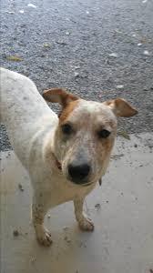 belgian sheepdog nc bryson city nc australian cattle dog meet freckles a dog for