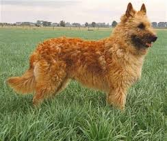 belgian sheepdog breed info belgian laekenois dog breed information and pictures