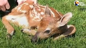 what to do if you find a baby deer the dodo youtube