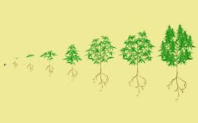 how and when to flush cannabis plants leafly