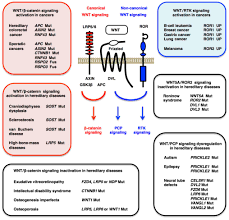 molecular genetics and targeted therapy of wnt related human