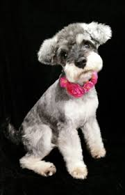 schnauzer hair styles centre stage dogs asian styles