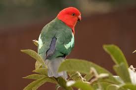 parrots birds in backyards