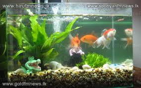 lanka becomes world s third largest ornamental fish exporter