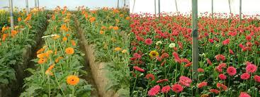 gerbera plant flowers of pallavika nursery