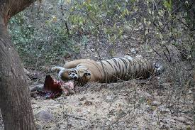 tiger with a stomach picture of ranthambore national