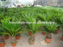 outdoor indoor decorative ornamental bonsai plants of cycas