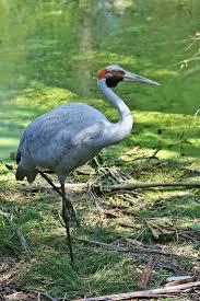 149 best cranes u0026 storks images on pinterest beautiful birds