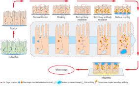 how to prepare your specimen for immunofluorescence microscopy