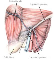 Anatomy Of Shoulder Muscles And Tendons The Lloyd Release Procedure Groin Hernia Repair And Treatment