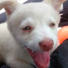 american eskimo dog new zealand albino pack