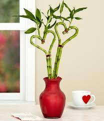 17 best lucky bamboo plants images on indoor plants