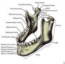 Base Of The Skull Anatomy Bone Anatomy Overview Mandible Maxilla