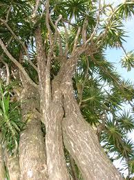 native plants of madagascar plants u0026 flowers variegated madagascar dragon tree