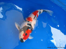 Different Koi Fish Meanings Showa03 Small Jpg
