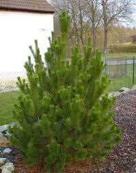 pine trees for small gardens landscape