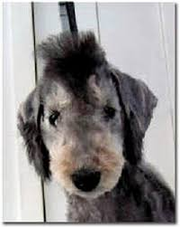 grooming a bedlington terrier puppy bedlington terrier i use to groom one of these back in the day