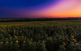 salina ks sunflower field by kansas state university cities for young families in kansas