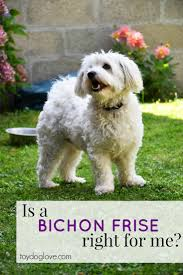 bichon frise training bichon frise breed info is this toy breed right for you