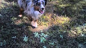 1 australian shepherd playing fetch with my 1 year old mini aussie indie youtube