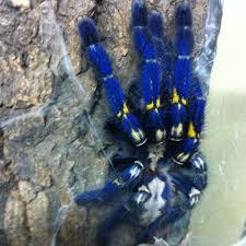 9 best poecilotheria metallica sapphire tarantula images on