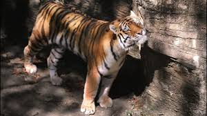 pittsburgh zoo u0027s oldest tiger dies from hernia complications wftv
